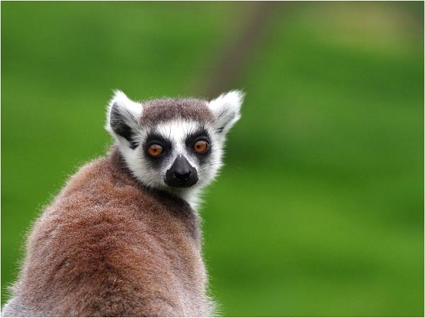 Lemur by johnriley1uk