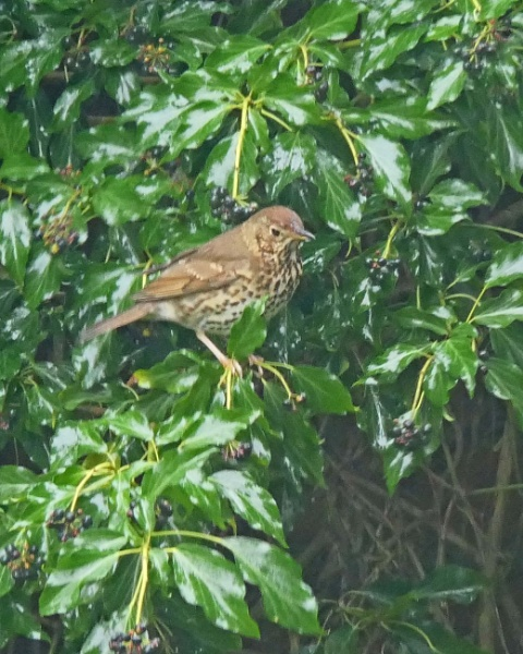 Song Thrush 1 and Mistle Thrush by Ted447
