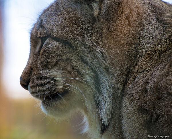 Lynx by shell68