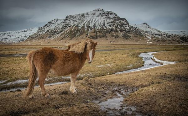 Icelandic Pony by Brookhousek