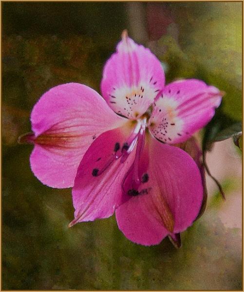 peruvian belle... by estonian