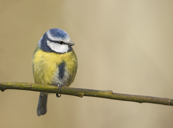 Blue Tit by Andy_brown