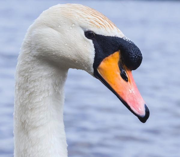 Swan portrait by Madoldie