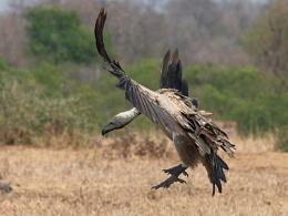 Vulture on final approach