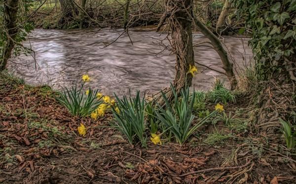 Windy daffodils by BillRookery
