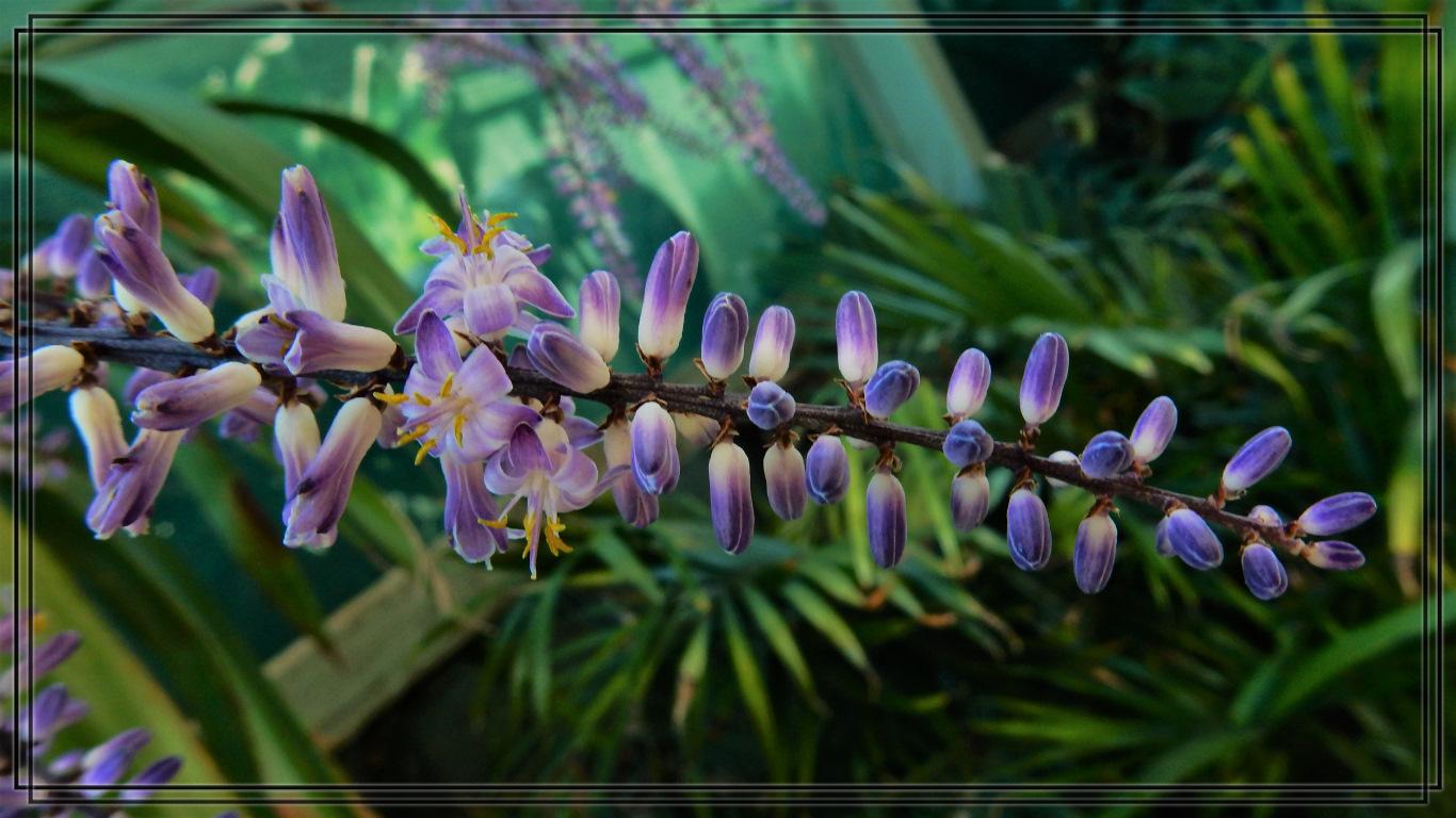 Flowering Cordyline Stricta