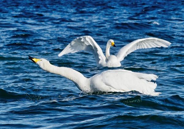 Whooper swans 3 in Lake Kussharo-ko by hannukon