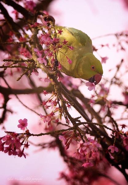 Green-ring necked parakeet by Glenn1487