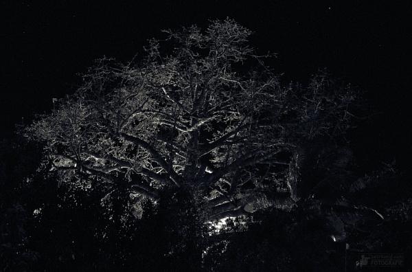 Trinidad_tree at night by konig