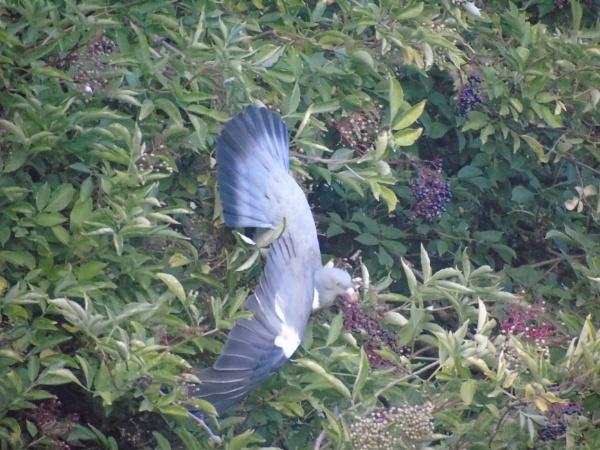 Pigeon by B3DD0W5