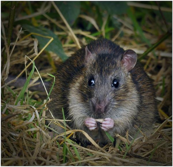 Brown Rat by dven