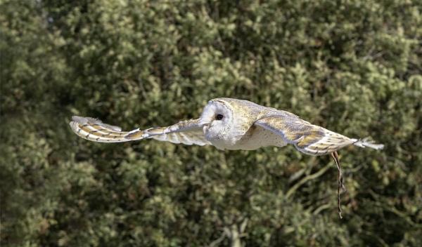 Owl Demonstration by lagomorphhunter