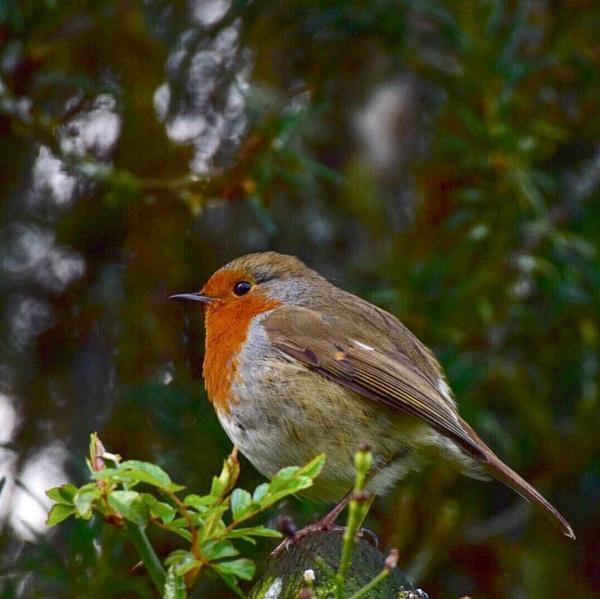 Robin by BertM