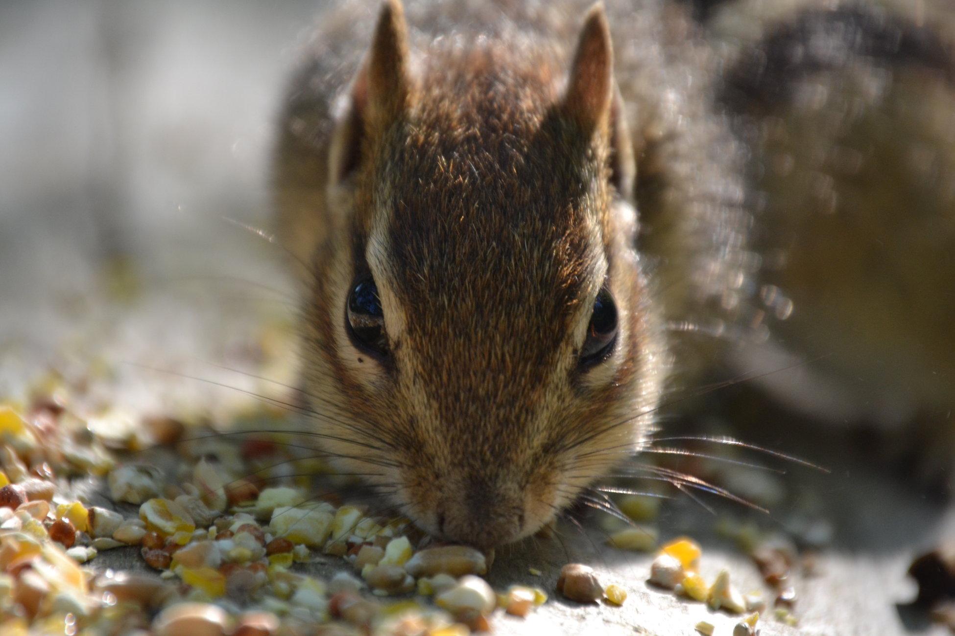 Chipmunk Closeup