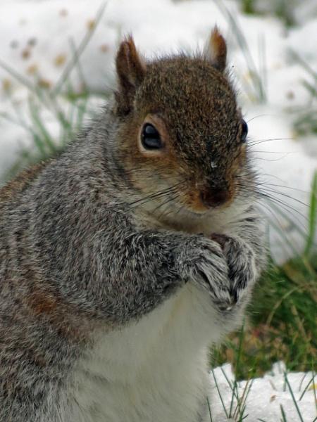 Posing Tree Rat (aka Grey Squirrel) by KarenFB