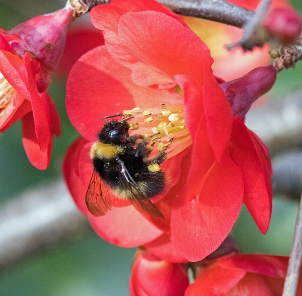 Early bumblebee on chaenomeles by oldgreyheron