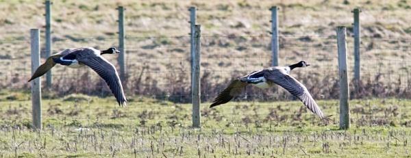 Flying Canada geese by oldgreyheron