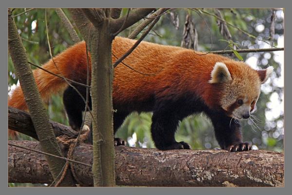 Red Panda by prabhusinha