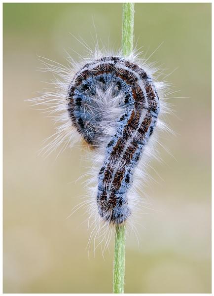 Lackey Moth caterpillar by NigelKiteley
