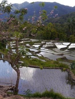Rice paddies with blossom ...