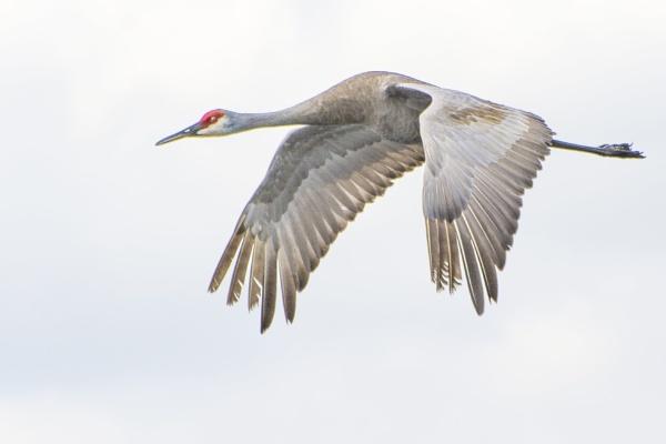 Sandhill crane by jbsaladino