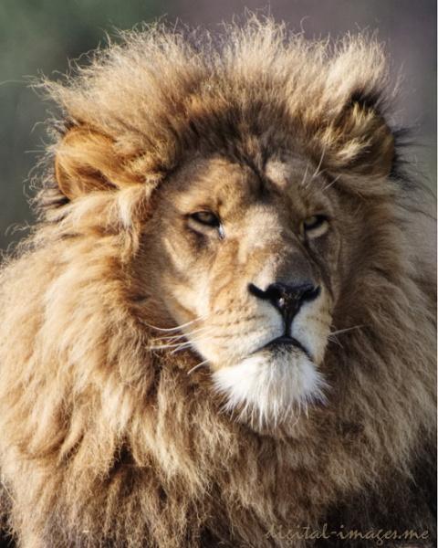 Lion by Alan_Baseley