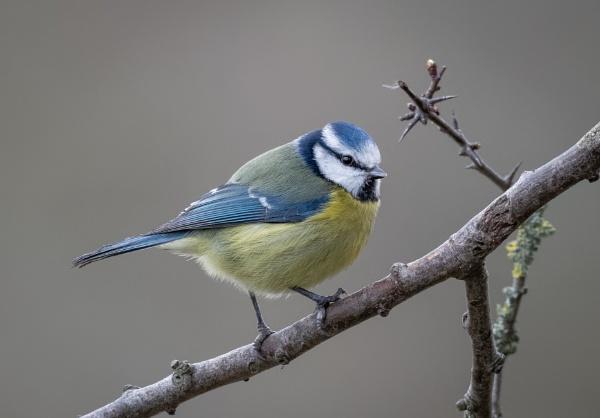 Bluey by jasonrwl
