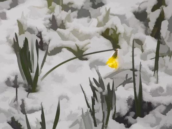 Yesterday\'s Daffodil by Irishkate
