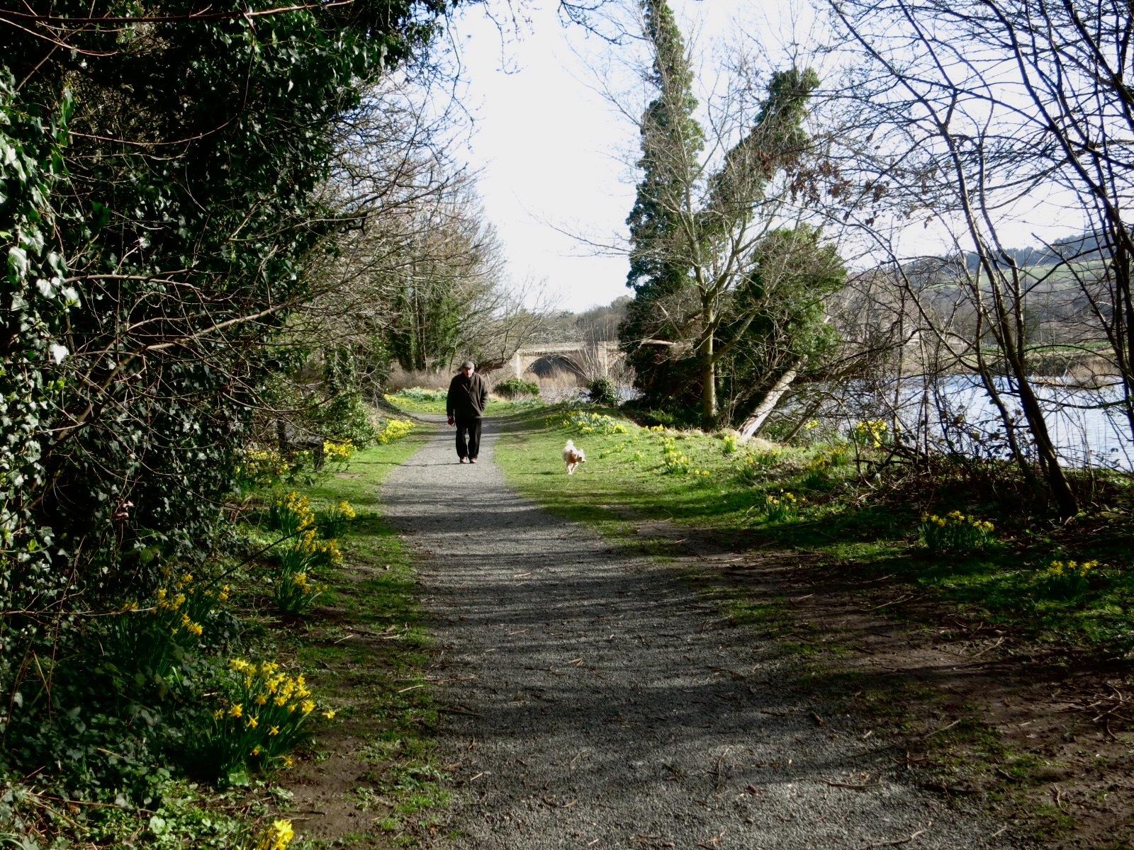 Springtime walk. Daffodil time
