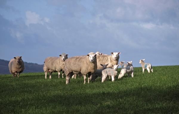 Early lambs by JuBarney