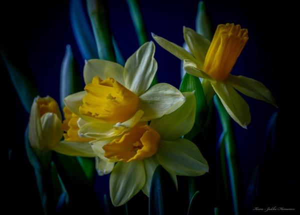Daffodils. by kuvailija