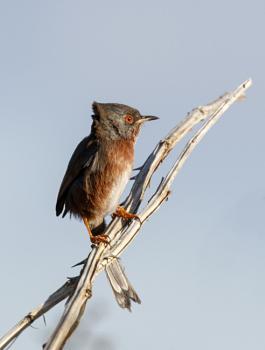 Dartford Warbler - Male