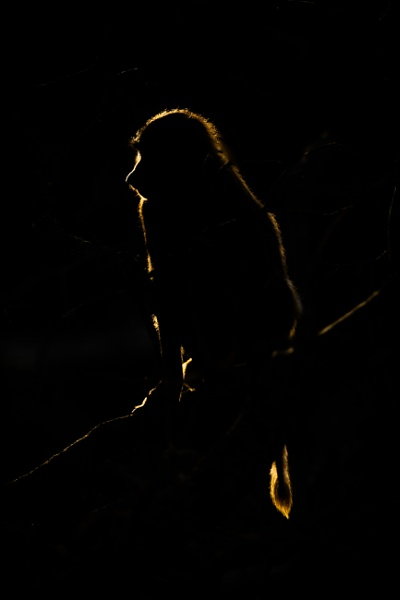 Golden silhouette of olive baboon in darkness by NickDale