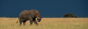Panorama of elephant walking through long grass