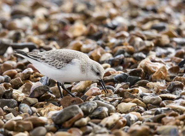 Sanderling by Andy_brown