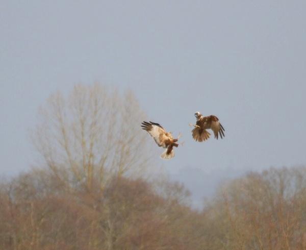 Marsh Harriers by Lencollard