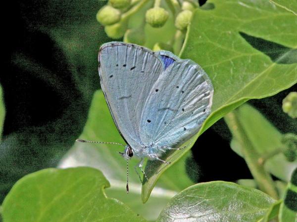 Holly Blue--Celastrina argiolus. by bobpaige1
