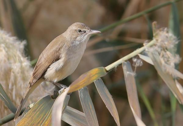 Clamorous reed warbler by paul_kinnock
