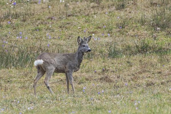 Roe deer by robert61