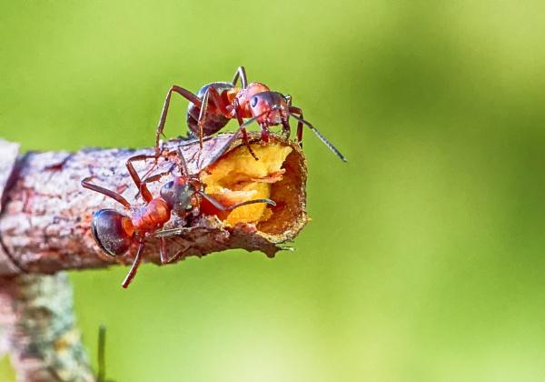 Ants in Espoo by hannukon