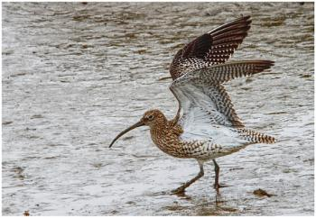 Curlew on the 'muddy' Deben