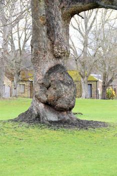 Wart Tree