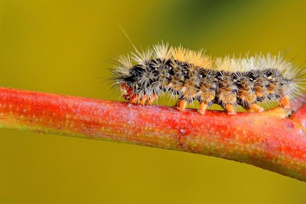 Hairy caterpillar by nesnah53