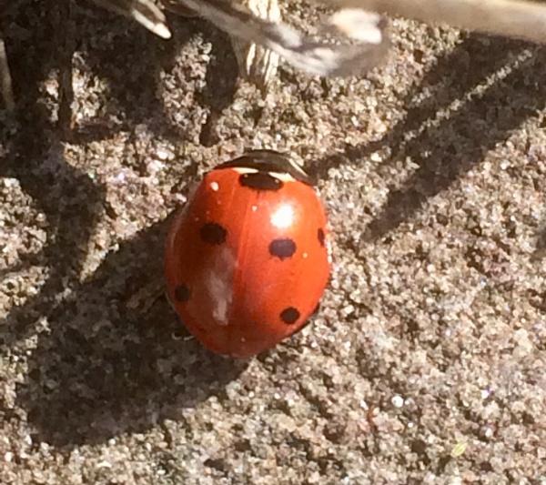 A Ladybird by Pinarellopete