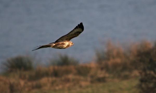 Buzzard in flight by rawshooter