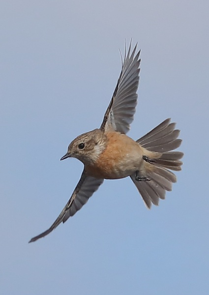 Female Stonechat in Flight by NeilSchofield