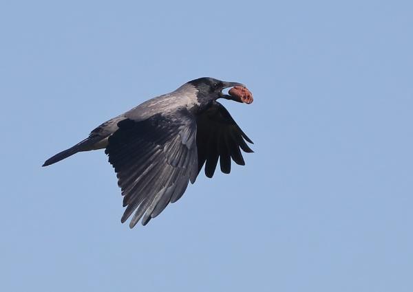 Hooded Crow in Flight by NeilSchofield