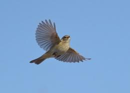 Paddyfield Warbler in Flight
