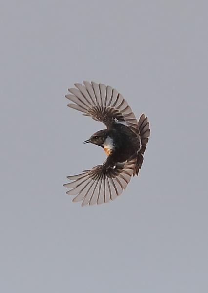 Male Stonechat in Flight by NeilSchofield
