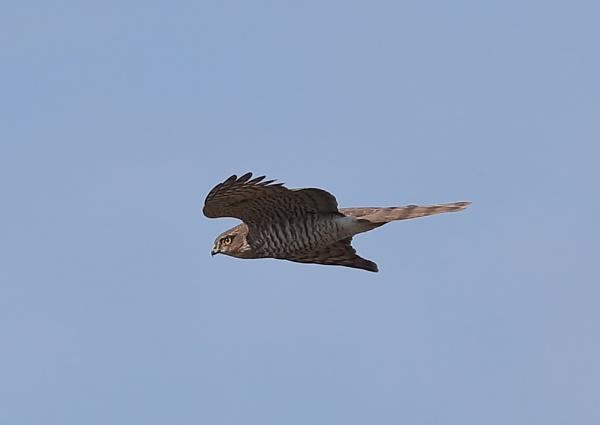 Peregrine Falcon In flight by NeilSchofield